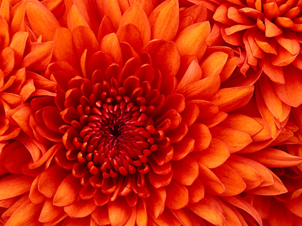 Chrysanthemum1482.jpg
